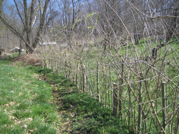 It's a living fence! You can see the willows starting to leaf out. It'll provide fencing for livestock, withies for basketry, food for critters, and wildlife habitat.