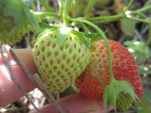 Sunday Strawberries: almost there!