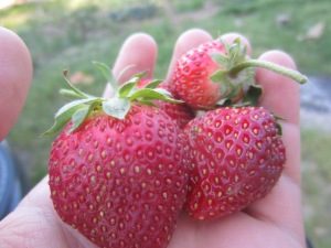 Monday strawberries: ripe, warm, and heavenly.