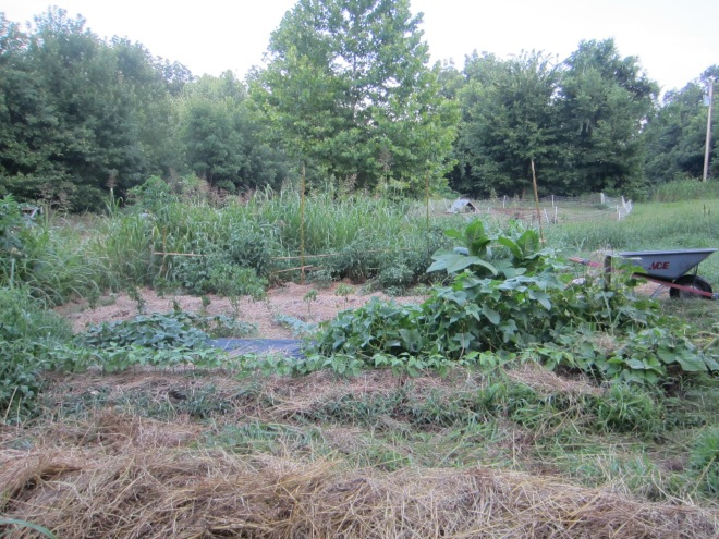 The cukes got a bit rambunctious and knocked down their trellis.