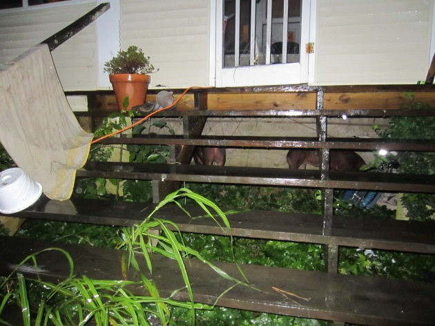 Due to user error, the pigs are taking refuge from tonight's storm under our front porch. We can't lure them out into the rain to bring them back into their enclosure. They get to sleep extra cozy tonight, but be prepared pigs, we come at dawn!