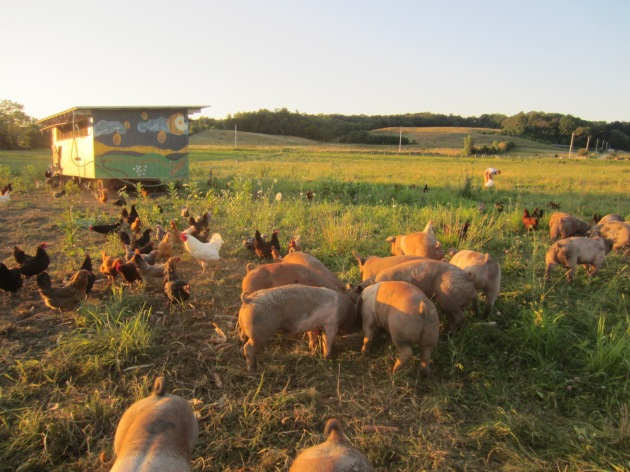 The pigs and chickens graze together. Pigs make good predator protection for the chickens.