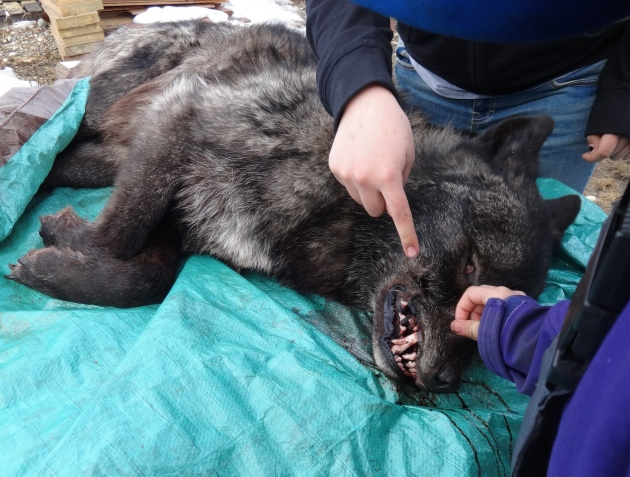 For culture week, one community member invited us to his house to see the wolf he'd trapped. Black wolves are prized for their fur along the coast.