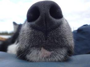 daazhraii nose